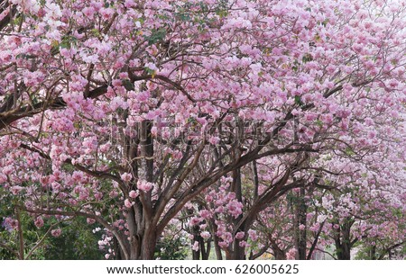 Pink Purple Large Flowers Tabebuia Trees Stock Photo Edit Now