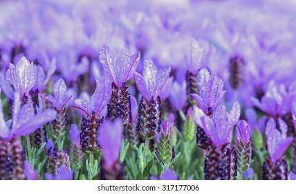 Pink purple lavender plant, background