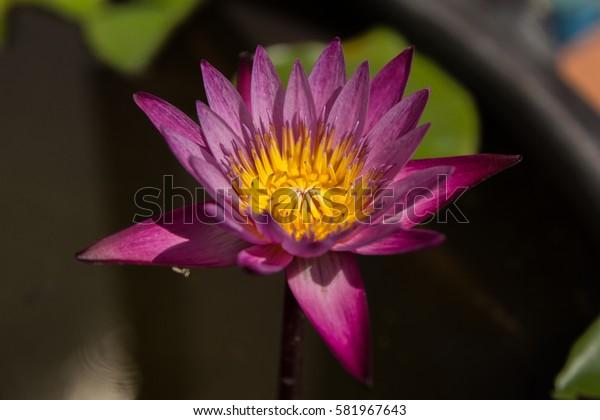 the pink purple lotus