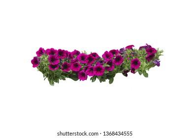 Pink or purple magenta petunia flowers in string margin design element.