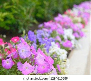 A Pink and purple Petunia overflowing garden path with impressionist bokeh background for wallpaper backdrop design decor stationary gift cards