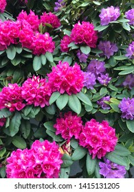 Pink and purple rhododendrons flowers