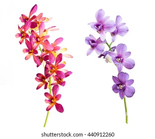 pink purple streaked orchid flower, isolated