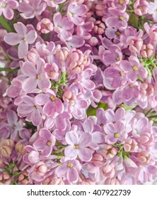 Pink, purple, Syringa vulgaris (lilac or common lilac), family Oleaceae, close up, floral texture, background