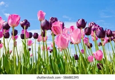 Pink and purple tulips against blue sky