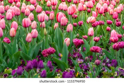 Pink and Purple Tulips at the Spring Floriade Festival in Canberra, Australian Capital Territory, Australia.