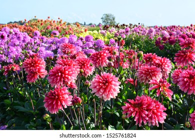 Pink, purple and yellow Dahlia flowers in a large field