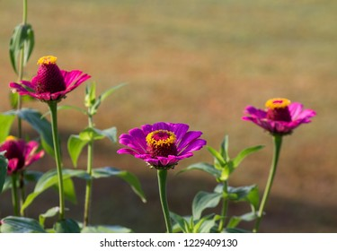 Pink and Purple Zinnia Flower Background