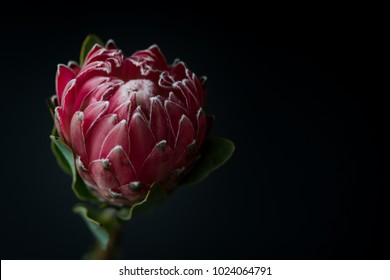 Pink Queen Protea Flower Blossom