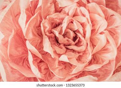 Pink radicchio del Veneto, Italy.
