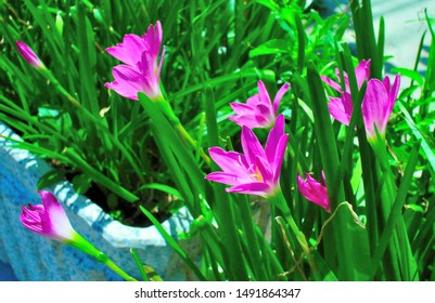 Pink rain lily flower at outdoor