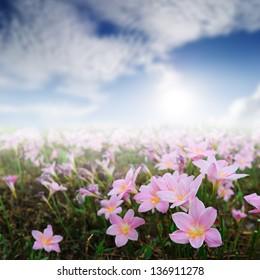 Pink Rain Lily and Sun Sky