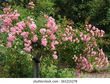 Pink Rambling Rose (Rosa) in a Country Cottage Garden in Rural Devon, England, UK