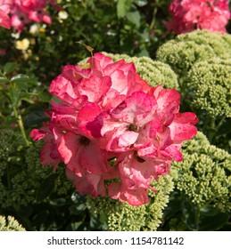 Pink Rambling Roses (Rosa) in a Cottage Garden in Rural Devon, England, UK
