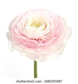 pink ranunculus bloomed