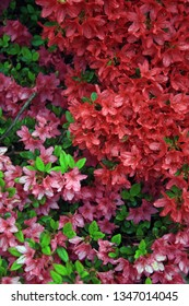 pink and red azalia blooms with spots of green leaves
