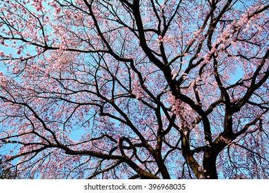 Pink and red blossoms of weeping cherry tree (Shidarezakura in japanese) in spring, Japan