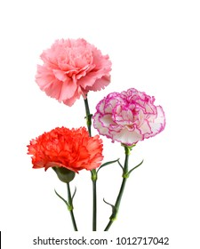 Pink and red carnation on white background