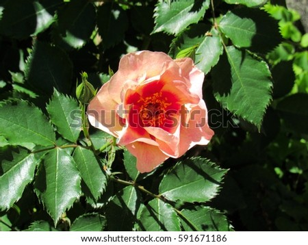 pink red color rose scientific name stock photo edit now 591671186