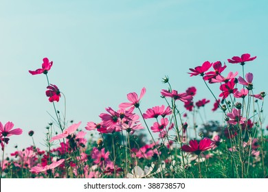 Pink and red cosmos flowers garden, soft focus and retro film look in blue green (mint) color tone