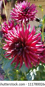 Pink and red Dahlia