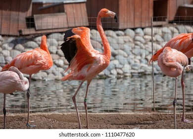 Pink and red flamingos in the Moscow Zoo