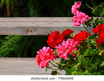 Pink and red geranium flowers in summer garden on old wooden stairs background.Ivy-leaf pelargonium. Geranium Peltatum.