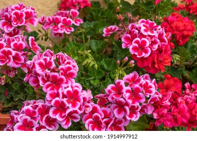 Pink and red geranium with many beautiful flowers. beautiful flowers