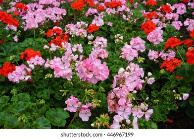 Pink and red geranium (pelargonium) flowers in bloom