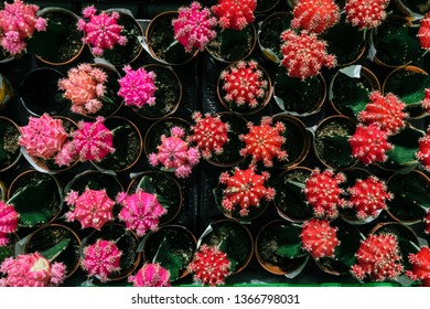 Pink and red Gymnocalycium cactus flowers in pots. Indoor ornamental plant. Top view.