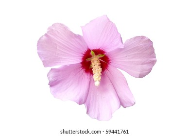 Pink and Red Hibiscus Flower Isolated on White