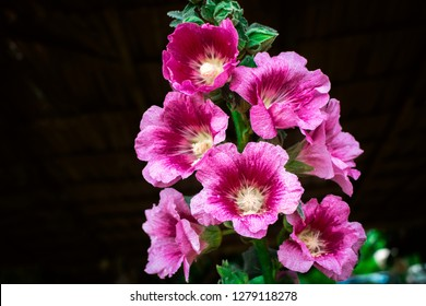 Pink and red Hollyhock flowers (Althaea Rosea or Alcea Rosea) blossoming on tree in the dark background