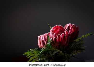 Pink red king protea flower bouquet in bloom on a grey background