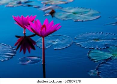Pink and red lotus lake at Udonthani Thailand