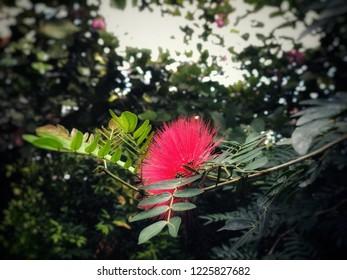 Pink red powder puff (Red head powder puff/Red powder puff) with blur background