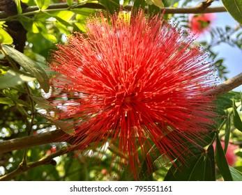 Pink Red Powderpuff, Red Head Powderpuff, Red Powderpuff under the sunshine.