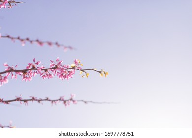 Pink red purple flowers on Eastern Redbud tree in early spring in full bloom, flowers blossom, blossoming Cercis canadensis, flowering in dappled sunlight in April May. Place for text, close-up view.