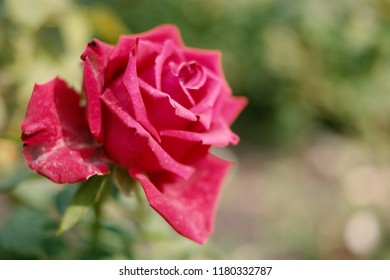 Pink red rose in garden on rosebush shot with copyspace