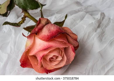 Pink -red rose with water droplets - white background