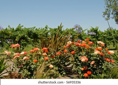 Pink And Red Roses Among Grape Vines
