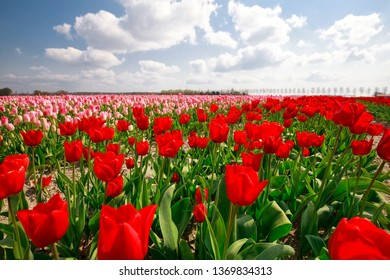 pink, red tulip field and blue sky on sunny day