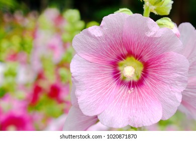 Pink, red, ultraviolet color Hollyhock Althaea rosea or Alcea rosea, close up blurred background