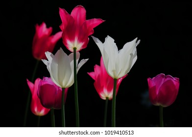 pink red white tulips