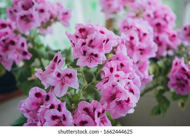 "The Pink Regal Pelargonium is a home and garden plant that is also known as Regal Geranium or ""Pelargonium Grandiflorum"""