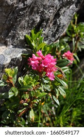 pink Rhododendron in bloom at Patscherkofel