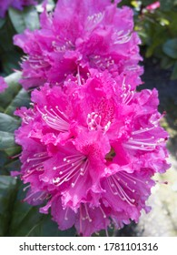 Pink Rhododendron Blossoming During Spring