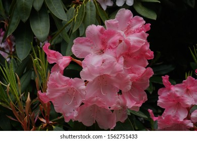 Pink Rhododendron flower in bloom