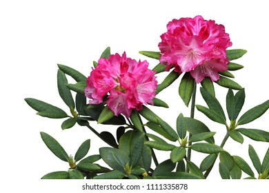 Pink Rhododendron Flower Plant isolated on white background