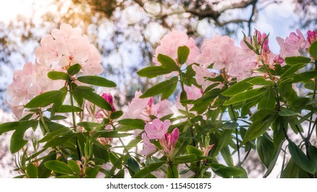 Pink Rhododendron flowers -called Roseum Elegans in Latin - glowing in sunlight at the Rhododendron Garden in Blackheath, New South Wales, Australia.