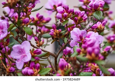 Pink Rhododendron flowers in garden. Huge Rhododendron bush with pink blossom